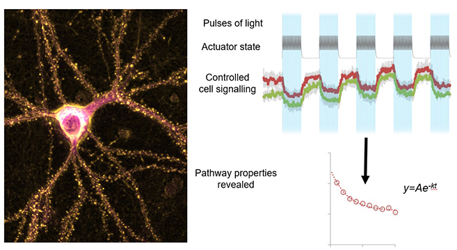 Expression of optogenetic actuators in neurons allows precise non-invasive control of signalling pathways using light pulses. This permits a better understanding of pathway modified in neurological disorders.