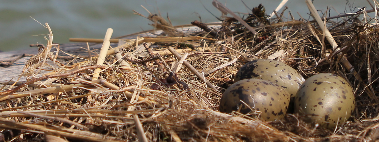 A common gull's nest with three eggs, set against an archipelago view.