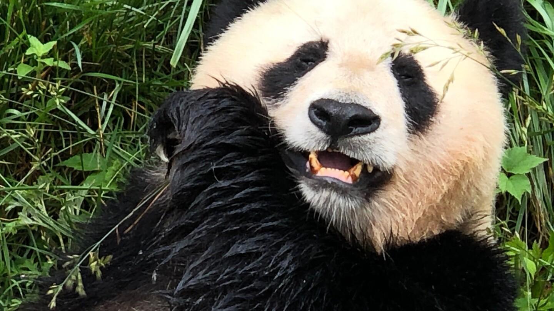 Jättilaispanda syömässä bambua